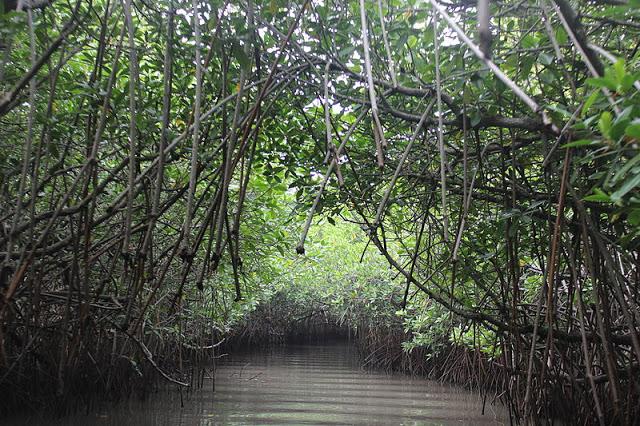 Pichavaram_Mangrove_Forest_22